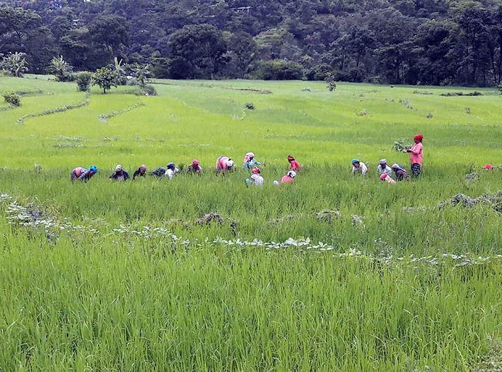 धान गोड्न व्यस्त किसान
