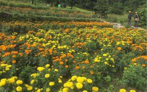 सयपत्री फूल खेती